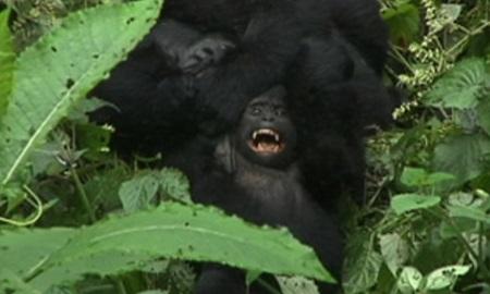 gorilas%20in%20the%20midst3.jpg